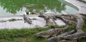 Hallan restos fósiles de gigantesco antecesor de los cocodrilos