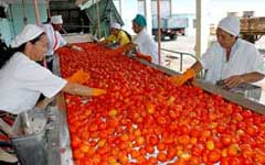 Fábrica conservera de Camagüey ya procesa tomate
